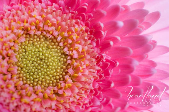 Large Print Macro, Daisy Photography, Macro Prints, Nature Photography, Pink and Yellow, Pink Home Decor, Pink Art, Spring Flower, Summer
