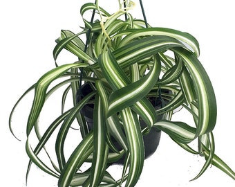 """Bonnie Curly Spider Plant - Easy to Grow - Cleans the Air - 6"""" Pot"""