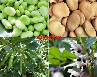 Broad bean - Vicia faba BIG - Aquadulce Claudia - Organic 25+ seeds