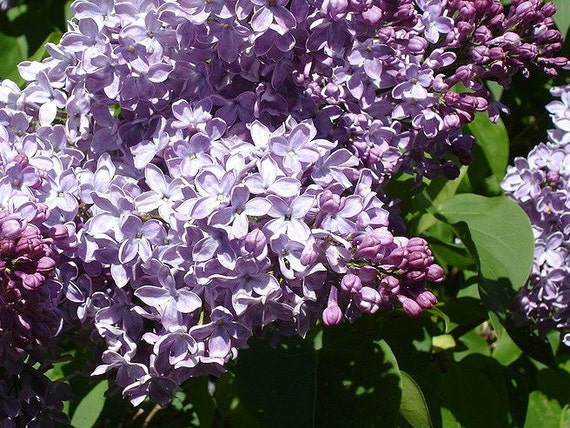 1 Shrubs Common Lilac Bush 1 Foot Tall Potted These Are