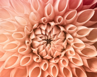 Flower Photography, Pink Dahlia Print, Dahlia Wall Art, Floral Art Print Pink Coral