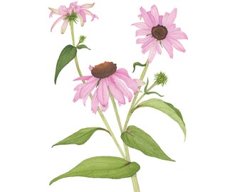 Purple Coneflower Watercolor Botanical Print / Floral Archival Fine Art Flowers Garden Painting / Echinacea / Pink Wildflower / 4x6 5x7 8x10