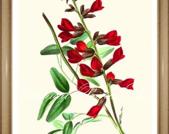 "Botanical Print. Red Flower Print. Kennedia. 5x7"" 8x10"" 11x14"""