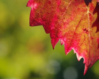 Pretty leaf of automne_en download immediat_nature_provence fin_Photographie