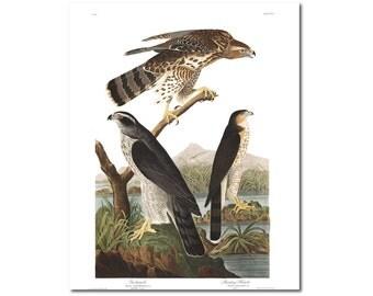 Goshawk Print Stanley Hawk Birds Poster Wildlife Art Illustration Ornithology Fine Art Print  J.J Audubon  Ornithologist Gift 0423
