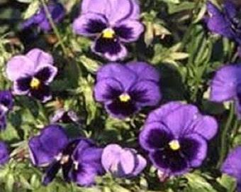Deep Blue Viola Swiss Giants Flower Seeds / Biennial 35+