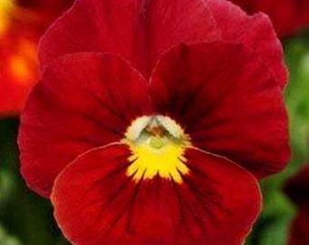Swiss Giant Crystals Scarlet Viola Pansy Flower Seeds / Biennial  35+