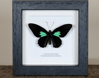 Emerald-patched Cattleheart in Black or White Box Frame (Parides sesostris) Real Mounted Butterfly