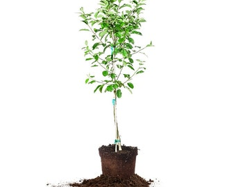Red Delicious Apple Tree Size: 3-4 ft