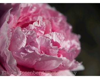 Wall Art, Landscapes,  Fine Art Photography, Nature Photography, Peony, Flowers, Pink