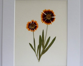 Real Pressed Flower Botanical Art Herbarium of Gaillardia Blanket Flower 8x10 OR 11x14