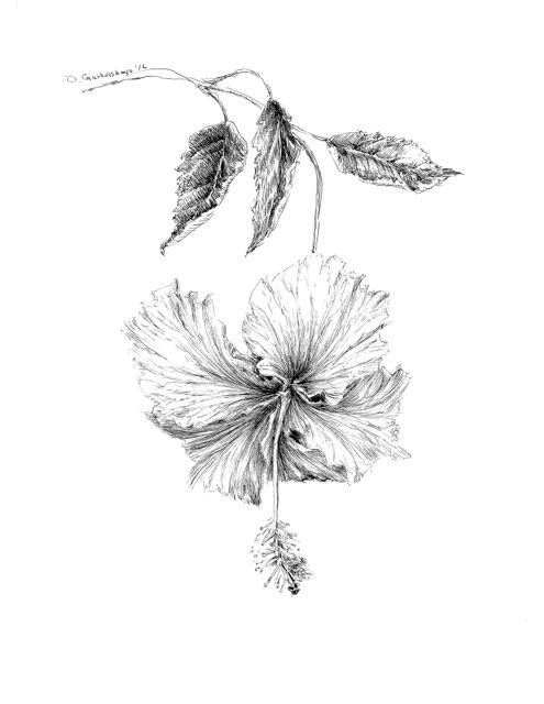 Hibiscus Drawing Original Botanical Art Floral Illustration