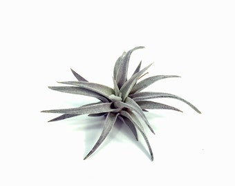 Tillandsia Chiapensis Air Plant (Small) // Hello Tilly Airplant