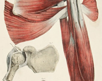 1842 Original LARGE hand colored plate from Quain's anatomy, triceps, rotator cuff, shoulder joint, first edition! Very Scarce!