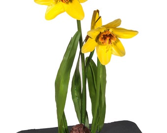 Daffidils with Bulb