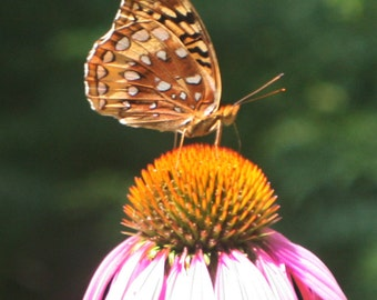 Fritillary butterfly digital download image free use