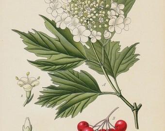 Antique print 1896 BOTANICAL print, lovely chromolithograph of a guelder-rose, e water elder, cramp bark, snowball tree and cranberrybush
