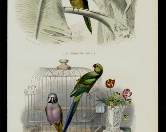1848 Antique PARROT print. Fine hand colored victorian engraving, parakeets in a cage, budgies, budgerigars.