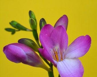 Purple Freesia Digital Print