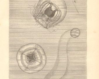 1878 Hydroids and Comb Jellies, Bougainvillia, Sea Gooseberry Original Antique Engraving to Frame
