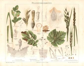 1890 Phytopathology or Plant Pathology Original Antique Chromolithograph