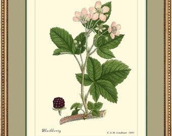 BLACKBERRY - Botanical print reproduction - 307