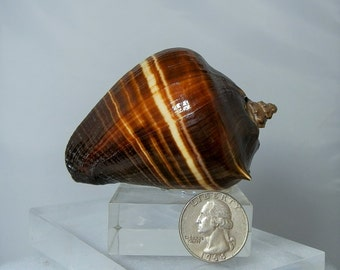 Collectible Fiber Conch Seashell on a Pyrex Display Stand 3.50 inch Melongena Patula Striped in Very Nice Condition DanPickedMinerals