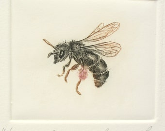 Scabious Bee. Rare British solitary mining bee. Limited edition Drypoint