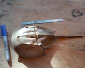 Medium Horseshoe Crab