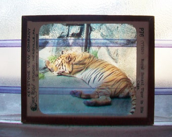 Tiger Glass Slide Suncatcher Keystone View Co. Vintage 1930s