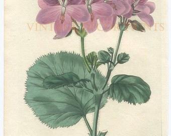 Botanical Geranium Print, 1828 Robert Sweet Original Hand Coloured Engraving of a Pelargonium, Beautiful Decorative Botanical Engraving