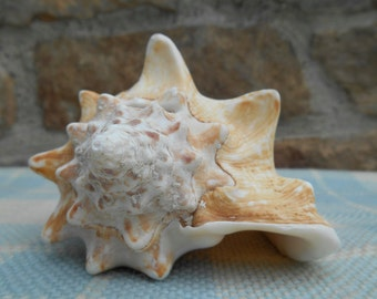 Vintage Small Conch Sea Shell Seashell Specimen Beach Decor Specimen Beach Wedding Centerpiece Shell Collection Coastal Decor