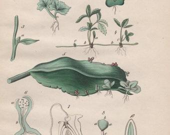 1852 Plant Morphology Print, Flora Illustration, Antique Botanical Lithograph, Plant Anatomy, Plant Growth, Plant Seed Development, Biology
