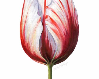 Tulip with Red and White Stripes // Botanical Illustration // Floral, Pink