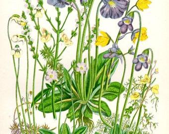 1896 Matted Antique Botanical Print Butterwort Alpine Purple Yellow Anne Pratt Vintage Flower Home Decor