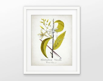 Vanilla Plant Art Print - Vanilla Pod - Kitchen Vanilla Decor - Botanical Print - Vanilla Flavoring - Single Print #1651 - INSTANT DOWNLOAD