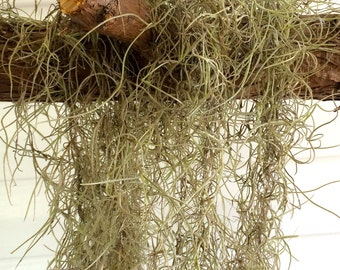 Live Fresh Spanish Moss Air Plant Strands