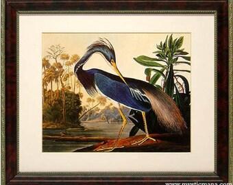 Louisiana Heron Audubon Birds of America Framed Display