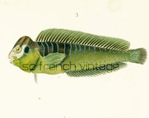 1861 Blennies Round Goby Flathead Mullet Antique Engraving Fish Sealife Handcolored Original Antique Print Drawing Wall art  home decor