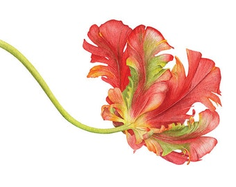 Parrot Tulip. Botanical illustration. Fine art watercolor print.