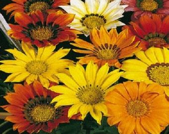 50 Seeds Gazania Mini Star Mix Gazania Seeds