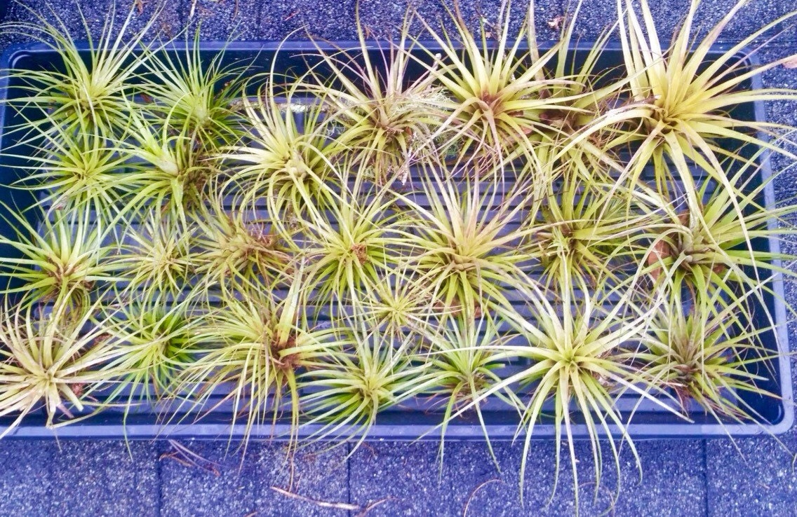 Air plants for sale wholesale cladem for Cheap air plants