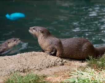 24x36 Poster . North American River Otter (Lontra Canadensis)