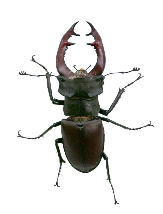 Supplies for your artworks - dried insects - :  2 x Lucanus cervus 70+mm   lucanidae stagbeetle UNMOUNTED A1 quality FREE SHIPPING
