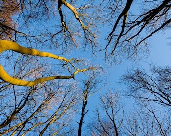 Tree Stock Photo, Trees Reaching up to Blue Sky, Digital Download