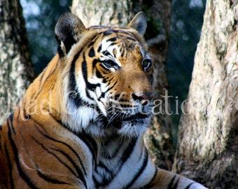 Majestic Malayan Tiger