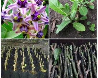 2 Giant Indian Milkweed  Purple  Cutting / Giant Indian Milkweed Cuttings /Crown Flower,