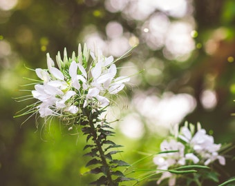 Outdoor nature print, floral print, flowers, white flowers
