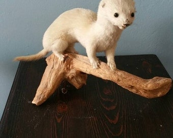 Very cute tiny taxidermied baby ferret!  Weasel mink ermine taxidermy