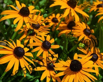 "Buy 3 Get 1 Free- RUDBECKIA ""BECKY"" Black Eye Susan Flower Seeds - 30 Seeds"